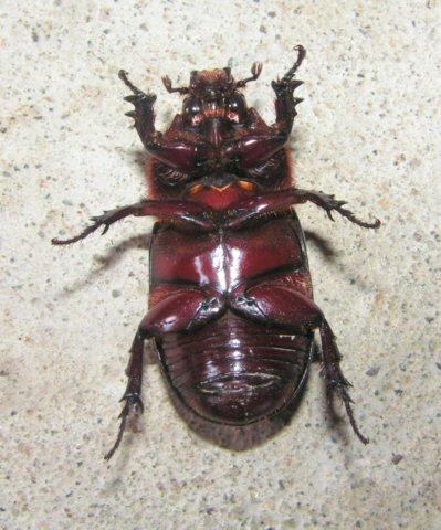 big beetle belly side